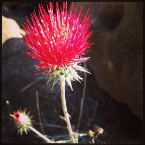 Red Milk Thistle